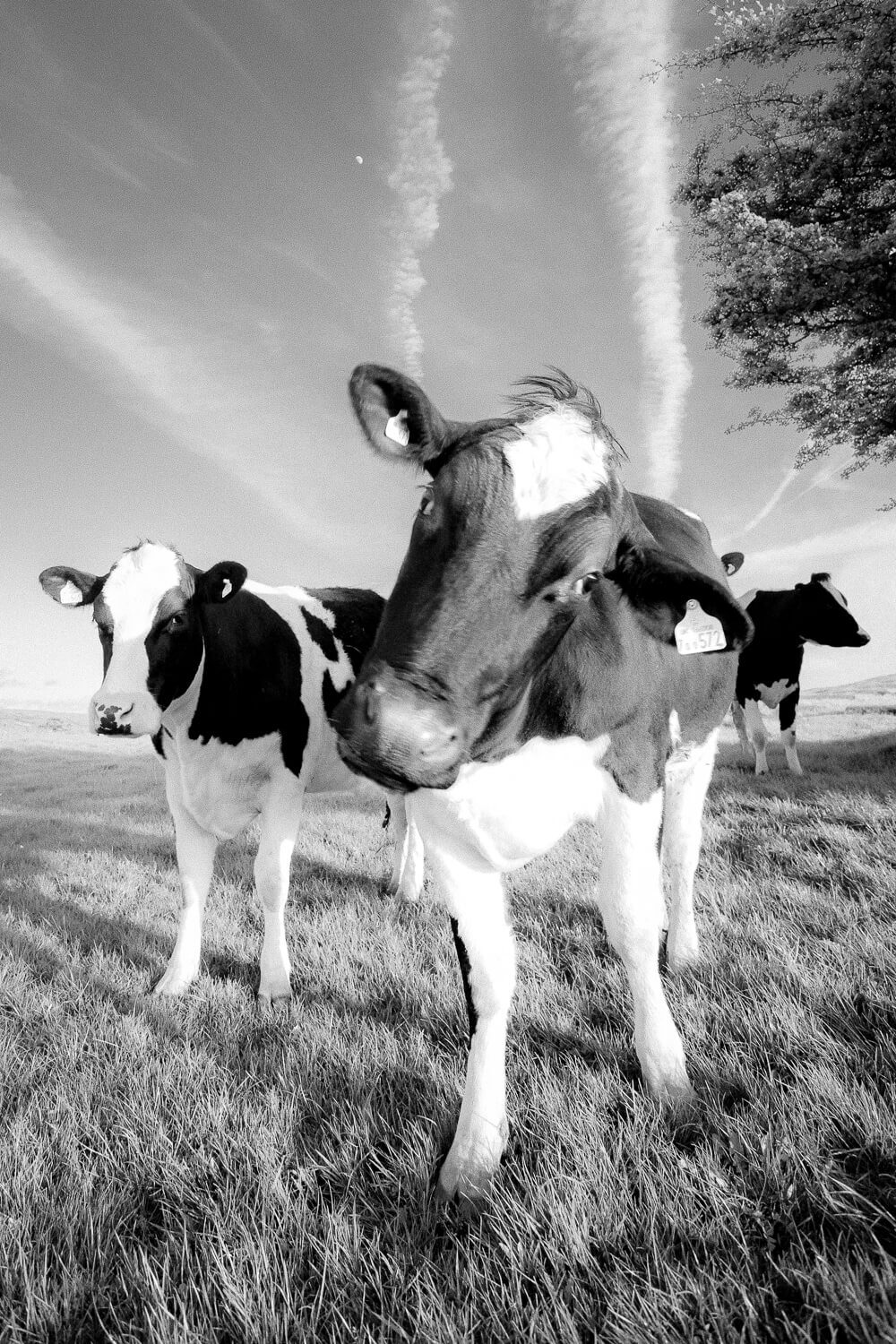 Nosey cow black and white